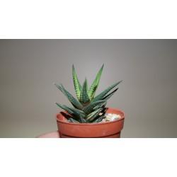 Haworthia reinwardtii variegata