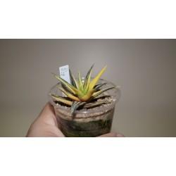 Haworthia attenuata variegata Aurea 2