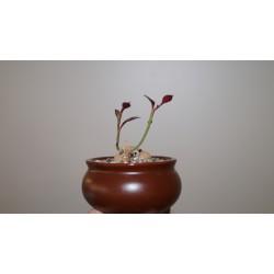 Monadenium stoloniferum бонсай