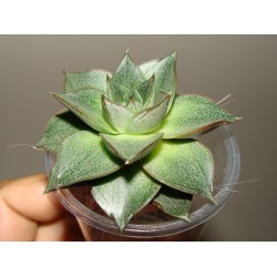 Echeveria purpusorum small