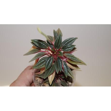 Пеперомия Peperomia caperata Rosso