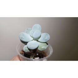Pachyphytum oviferum Amethystium
