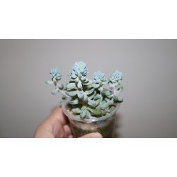 Pachyphytum Machucae Baby finger