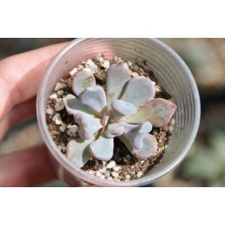 Echeveria Cupid small
