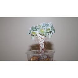 Echeveria pulvinata Frosty cristata / Галерея