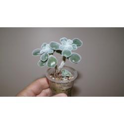 Echeveria pulvinata Frosty - 3 головы
