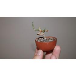 Avonia albissima бонсай
