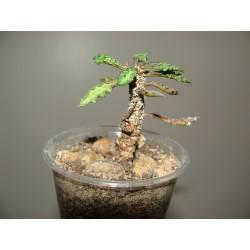Euphorbia decaryi var.decaryi