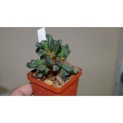 Adromischus cristatus schoenlandii бонсай