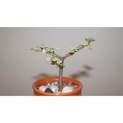 Portulacaria afra variegata бонсай
