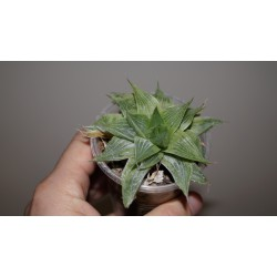 Haworthia Grey ghost retusa variegata