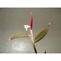 Monadenium (Euphorbia) rubellum