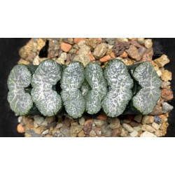 Haworthia truncata Sharaku