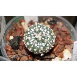 Astrophytum Hanazono гибридный