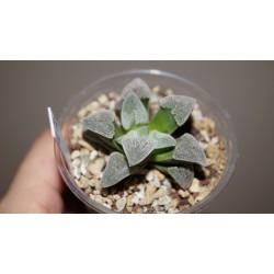 Haworthia pygmaea Powder Snow