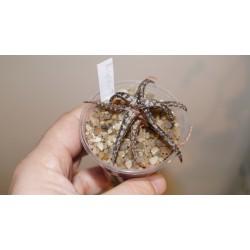 Aloe сортовое Spider