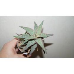 Aloe Raspberry Riple - детка