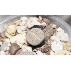 Lithops fulviceps Lactinea