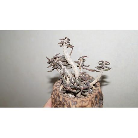 Euphorbia cylindrifolia девятиголовый
