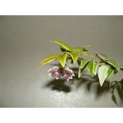 Hoya Bella variegata