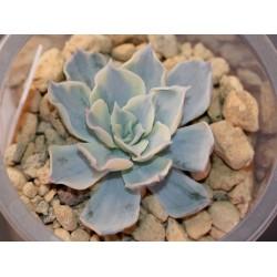 Echeveria subsessilis variegata small