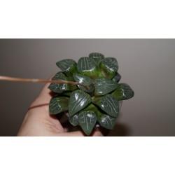 Haworthia Tsukikage