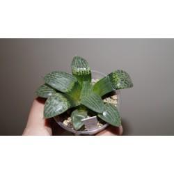 Haworthia comptoniana Suisho (Crystall) 1