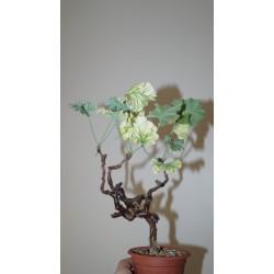 Pelargonium mirabilis