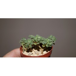 Aeonium tortuosum бонсай мини