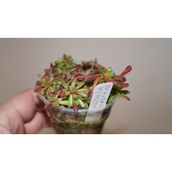 Crassula pubescens