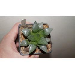 Haworthia comptoniana X bayeri