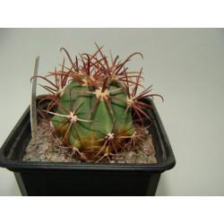 Ferocactus coloratus
