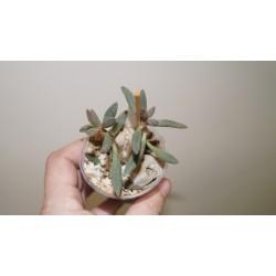 Adromischus marianae antidorcatum клон 2