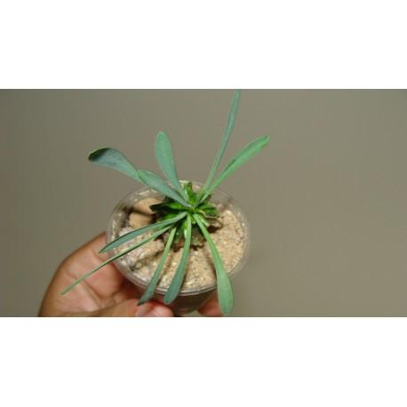 Euphorbia Gabizan Cocklebur одноголовая