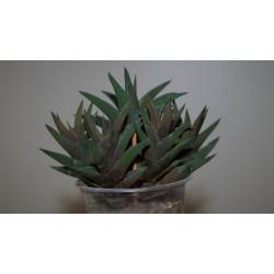 Haworthia tortuosa - куст
