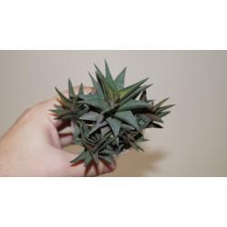 Haworthia tortuosa - детка