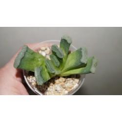 Haworthia truncata Uhlig гибрид