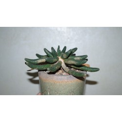 Euphorbia inermis - новое фото нового