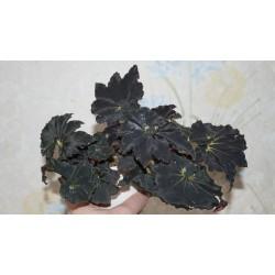 Бегония Begonia Dark Mamba