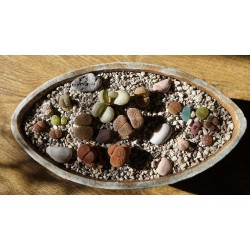 Разноцветные камни - композиция из литопсов