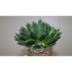 Haworthia Bristle Tips