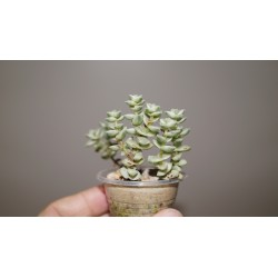 Crassula Tom Thumb variegata