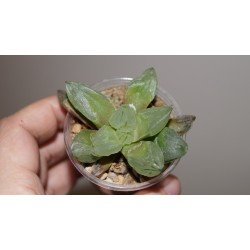 Haworthia pygmaea Mutant Ice City
