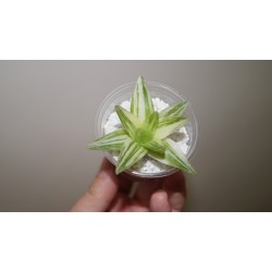 Haworthia cymbiformis variegata - selected 3