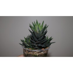 Haworthia reinwardtii variegata Red-Yellow