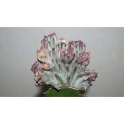 Euphorbia lactea cristata variegata Multicolored