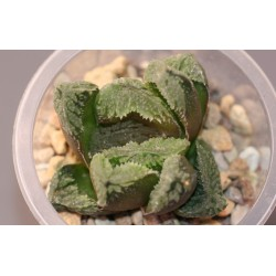 Haworthia truncata гибрид AR919