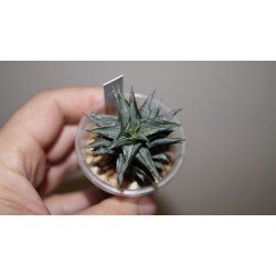 Haworthia Tortuosa White variegata