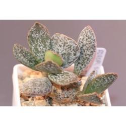 Adromischus schuldtianus Spotted form AR20