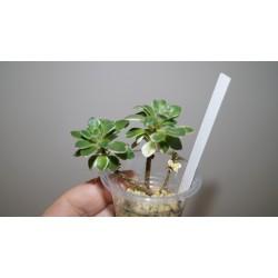 Aichryson goochiae variegata